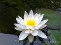 Кувшинка - водяная лилия,  нимфея