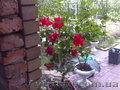 Комнатная роза гибискус.