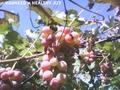 Виноград Лидия Розовая, Изабелла ягоды 100 - 300 кг. или чистый 100% сок - Изображение #2, Объявление #1664195