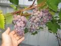 Виноград Лидия Розовая,  Изабелла ягоды